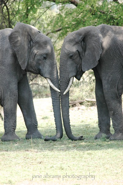 elephant's affection