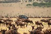 DSC_6031Wildebeest migration