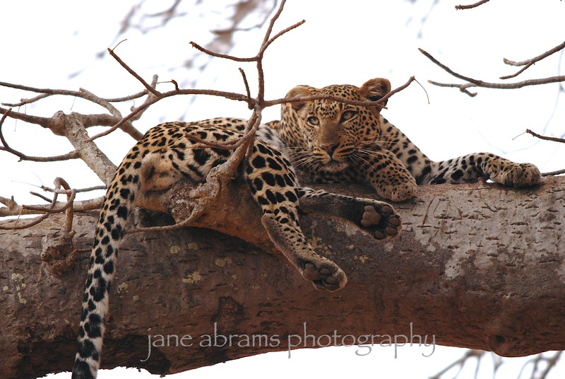 leopard's afternoon rest