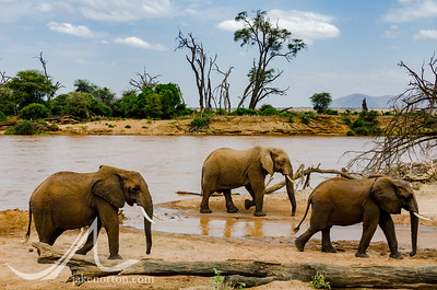 Elephants along the Ewaso N'giro River in Samburu National Reserve, Kenya.