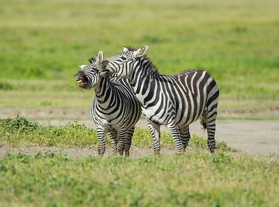 Zebras tend to be very social