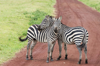 This is a very common pose with one zebra resting his head on the back of another zebra
