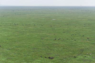 Thousands of Wildebeest