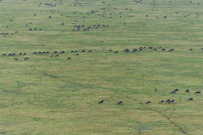 Wildebeest like to form long lines