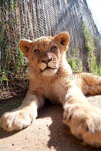 South Africa - Lion Park Johannesburg