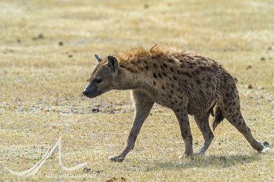 A spotted hyena (Crocuta crocuta), also known as the laughing hyena, prowls the Ngorongoro Crater, Tanzania.