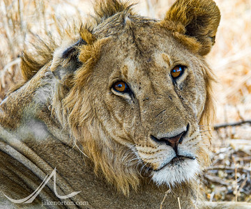 A large male lion (Panthera leo) bearing the scars of battle rests in the shade in Tarangire National Park, Tanzania.