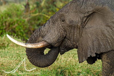 A bull elephant in the Serengeti, Tanzania.