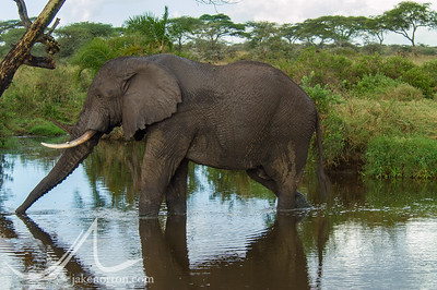 A bull elephant enjoys a drink in the Serengeti, Tanzania.