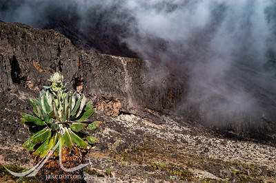 A giant groundsel, or Dendrosenecio kilimanjari, above walls of the Western Breach on Mount Kilimanjaro, Tanzania.