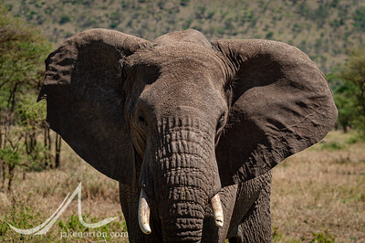 An elephant in the Serengeti, Tanzania.