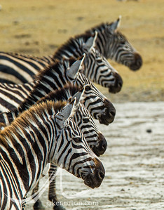 A group of Grévy's zebra (Equus grevyi) on Ngorongoro Conservation Area, Tanzania.