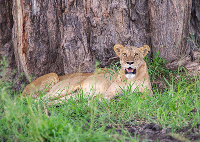Lion under Baobab Tree Tarangire National Park , Tanzania Click on the original gallery link below this photo to see the entire Tanzania Gallery