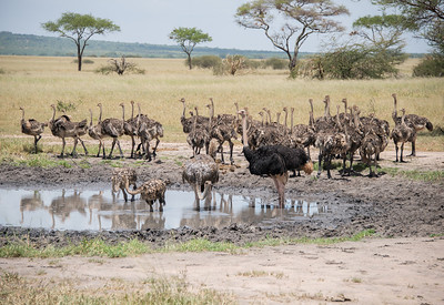 Ostrich Family. This watering hole is shared by many animals. They seem to take their turns. I saw warthogs, zebras, ostrich, and elephants all taking a turn.