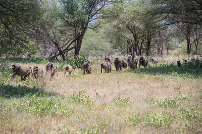 Baboon troop with over one hundred individuals.