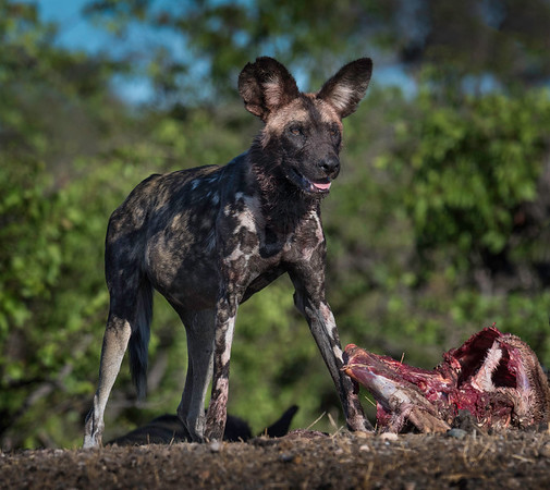 African wild dog on a kill