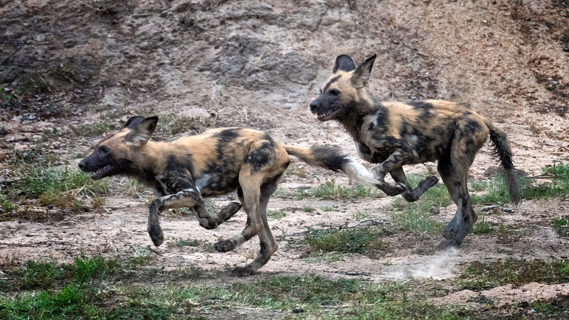 Wild dog pups playing at hunting