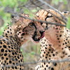 Cheetahs cleaning each other after a kill
