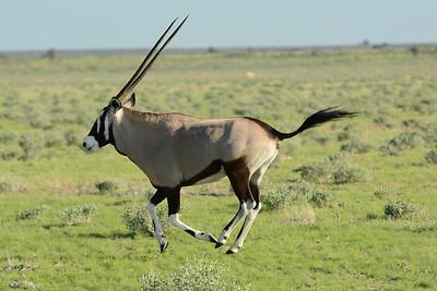 An oryx...desert antelope