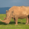 Rhino in the late afternoon sun
