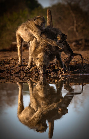 Baboon Family at the watering hole.