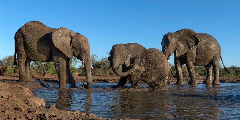 Three elephants taking an early morning bath; note how the baby is protected!