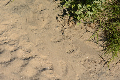 Tracks of 2 black mambas mating....of course we stopped and looked for them