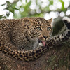 Leopard cub fascinated by its tail