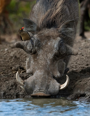Common Warthog and Yellow-billed Oxpecker