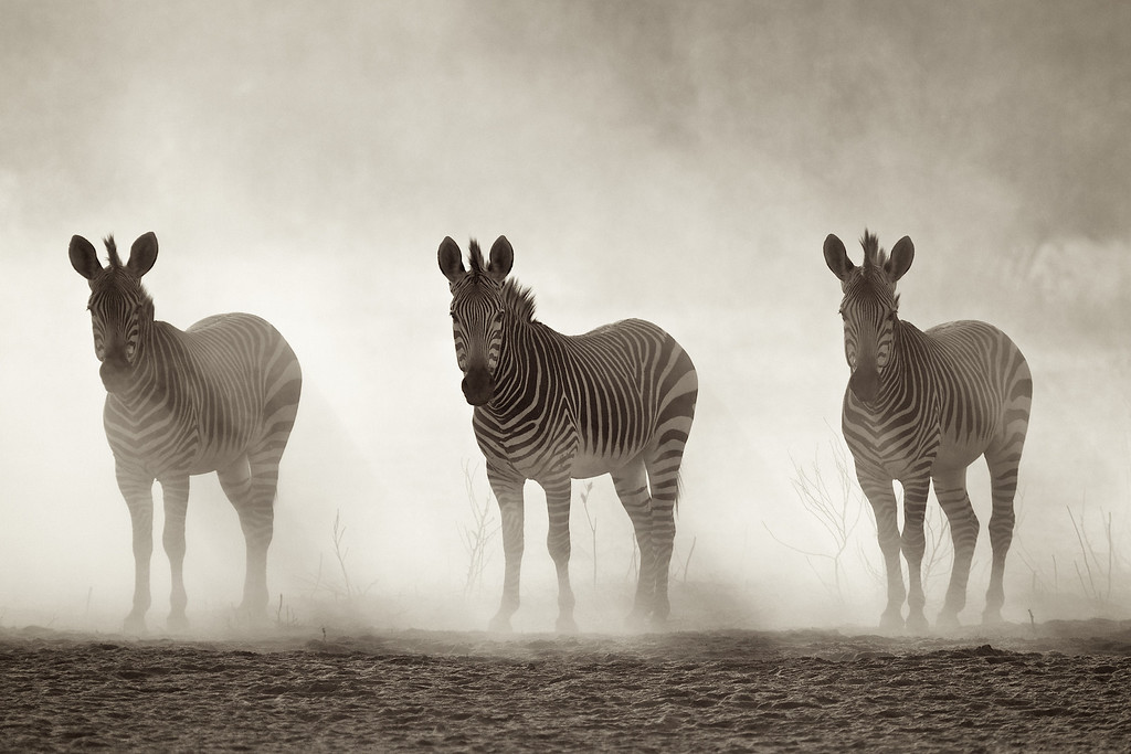 Dusty Zebras