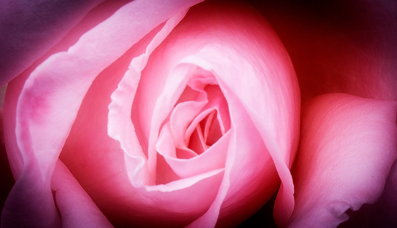 Pink Rose in Soft Light, Akaroa, New Zealand