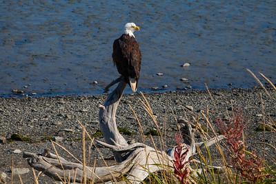 Bald Eagle IMG_8396