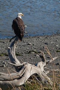 Bald Eagle IMG_8391