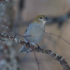 Pine Grosbeak IMG_9916