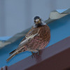 Gray-crowned Rosy-Finch IMG_9617