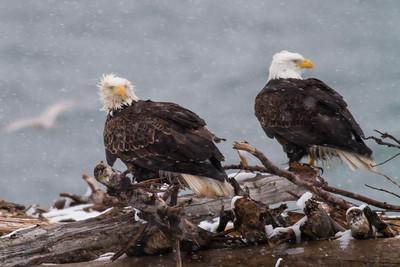 Bald Eagle IMG_9742