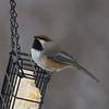 Boreal Chickadee IMG_9789