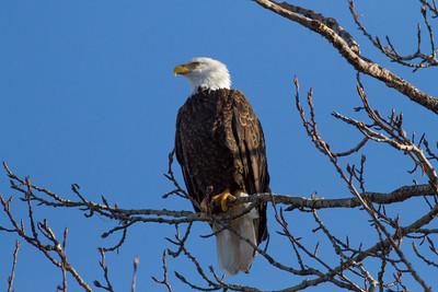 Bald Eagle IMG_9297