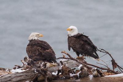 Bald Eagle IMG_9734