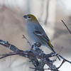 Pine Grosbeak IMG_9915