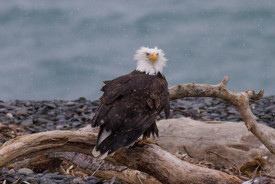 Bald Eagle IMG_9696
