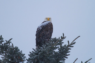 Bald Eagle IMG_9776