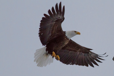 Bald Eagle IMG_9627