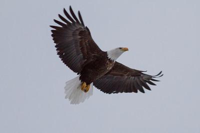 Bald Eagle IMG_9626