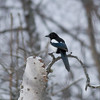 Black-billed Magpie IMG_9289