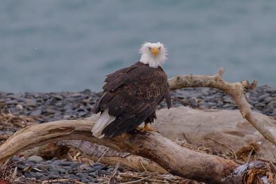 Bald Eagle IMG_9691