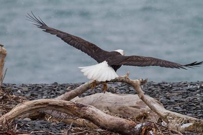 Bald Eagle IMG_9697