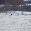 Moose (Alaska Railroad) IMG_4726