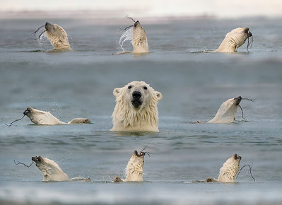 Polar Bears Love to Play