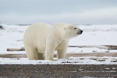 Polar Bear Kaktovik Alaska